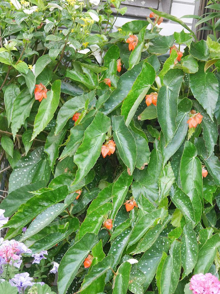 オレンジの木立ベゴニアの花が咲きだした。2020年-011.jpg
