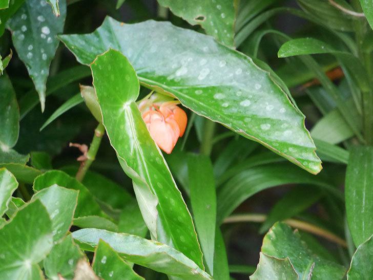 オレンジの木立ベゴニアの花が咲きだした。2020年-013.jpg