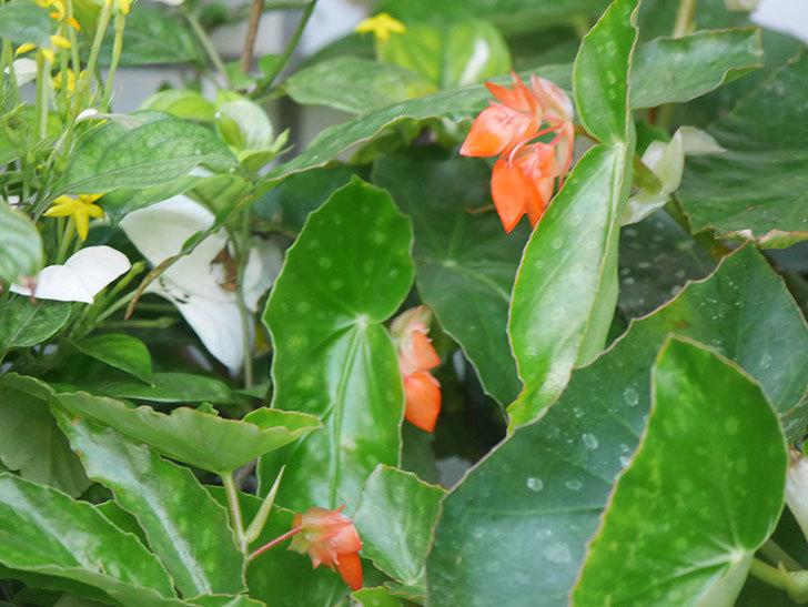オレンジの木立ベゴニアの花が咲きだした。2020年-015.jpg