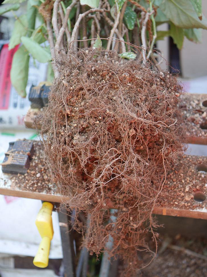 オレンジの木立ベゴニアの鉢を植え替えた。2020年-10.jpg