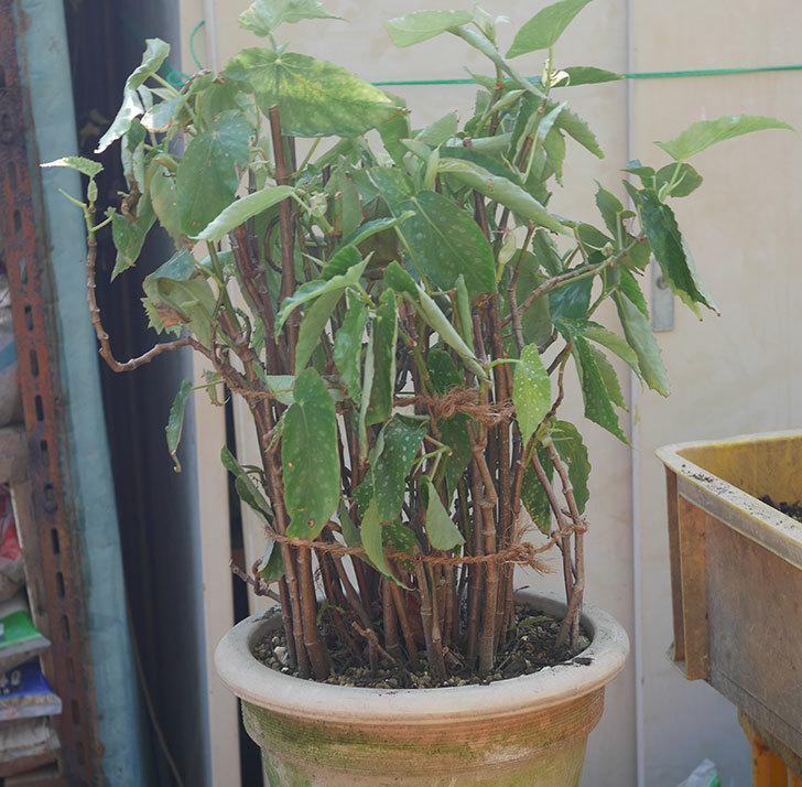 オレンジの木立ベゴニアの鉢を植え替えた。2020年-11.jpg