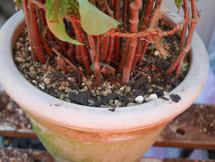 オレンジの木立ベゴニアの鉢を植え替えた。2020年-12.jpg