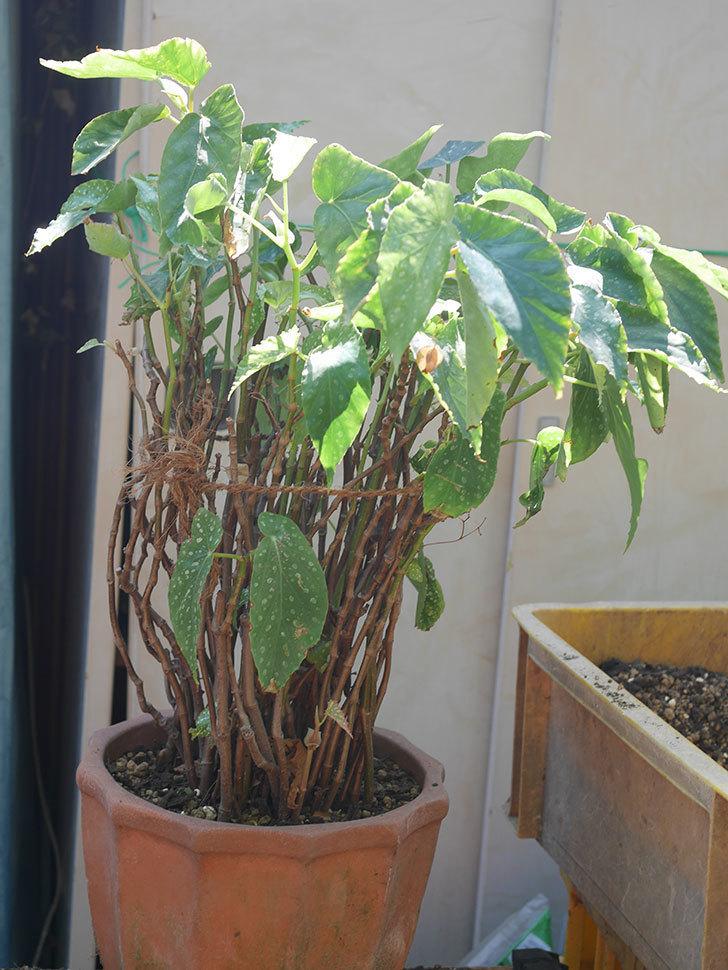 オレンジの木立ベゴニアの鉢を植え替えた。2020年-7.jpg