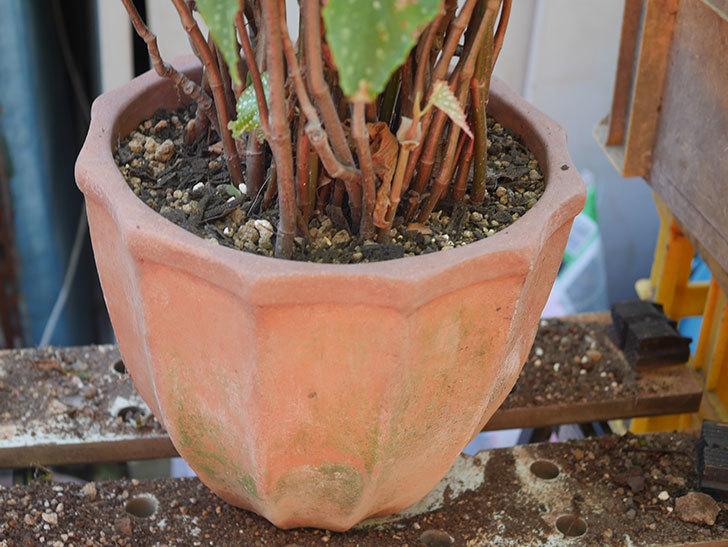 オレンジの木立ベゴニアの鉢を植え替えた。2020年-8.jpg