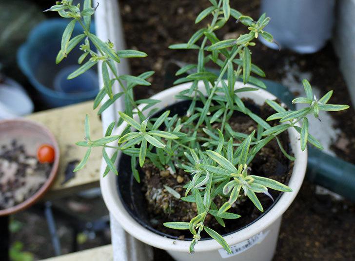 オーストラリアンローズマリー-モーニングライトを鉢に植えた3.jpg