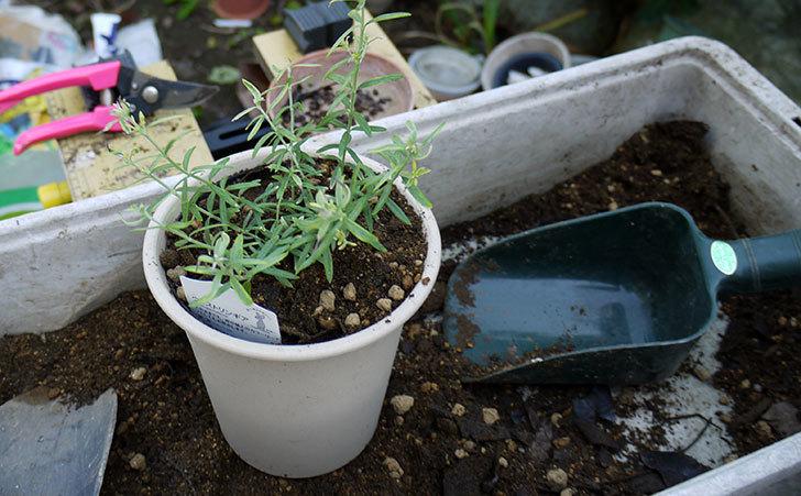オーストラリアンローズマリー-モーニングライトを鉢に植えた4.jpg