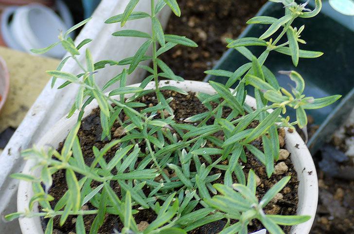 オーストラリアンローズマリー-モーニングライトを鉢に植えた5.jpg