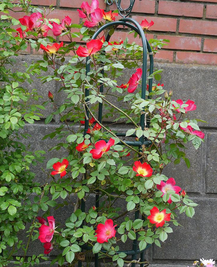 カクテル(ツルバラ)がたくさん咲いた。2017年-3.jpg