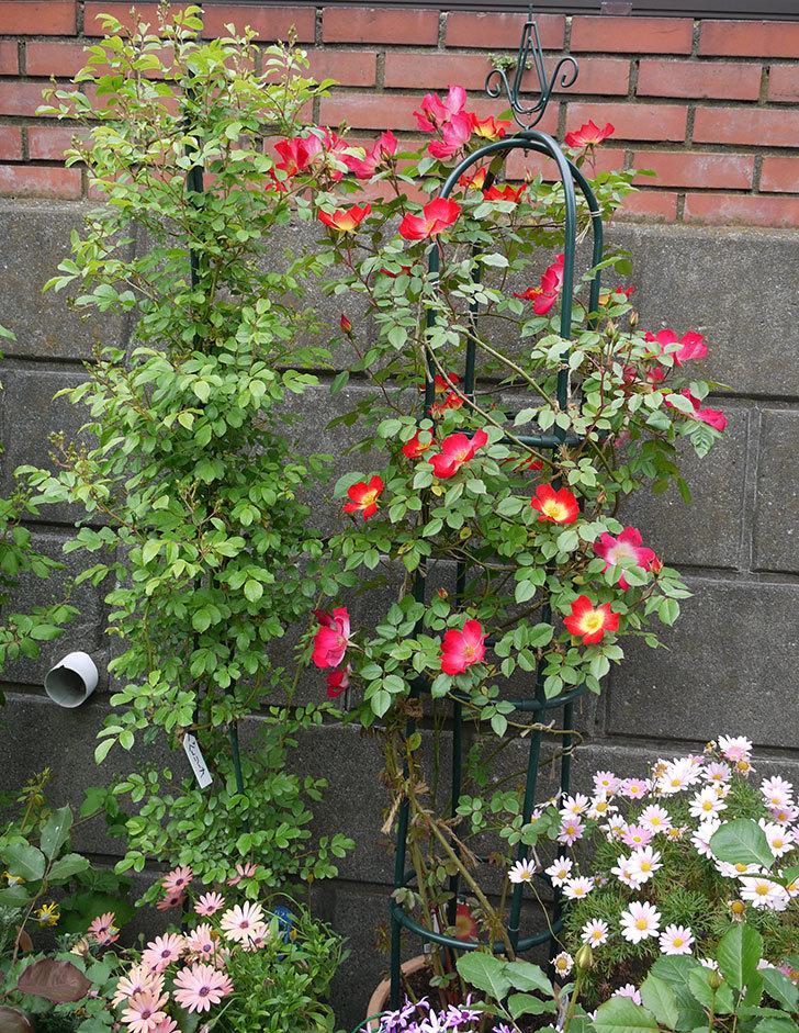 カクテル(ツルバラ)がたくさん咲いた。2017年-6.jpg