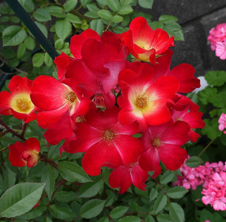 カクテル(ツルバラ)がまたたくさん咲いた。2017年-5.jpg