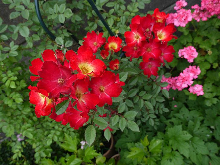カクテル(ツルバラ)がまたたくさん咲いた。2017年-7.jpg