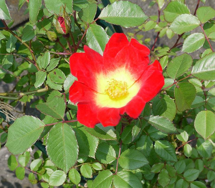 カクテル(ツルバラ)が咲きだした。2017年-1.jpg