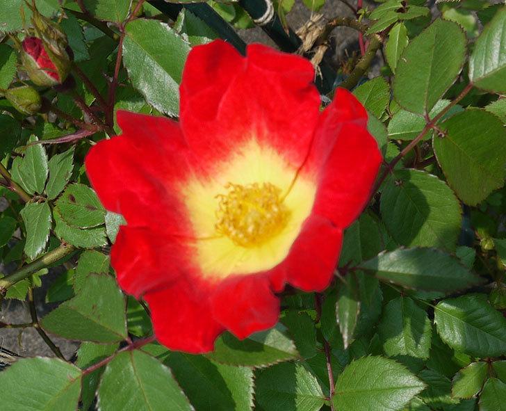 カクテル(ツルバラ)が咲きだした。2017年-2.jpg