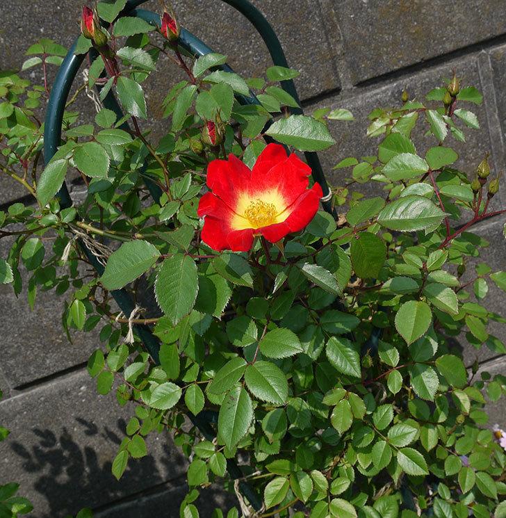 カクテル(ツルバラ)が咲きだした。2017年-3.jpg