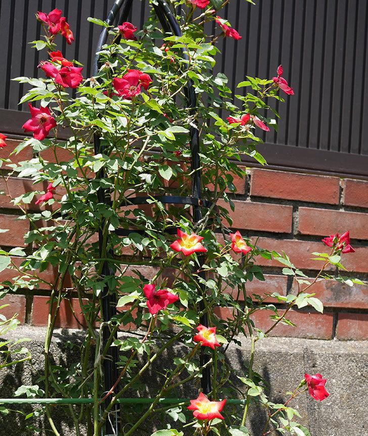 カクテル(ツルバラ)の2番花がたくさん咲いた。2018年-1.jpg