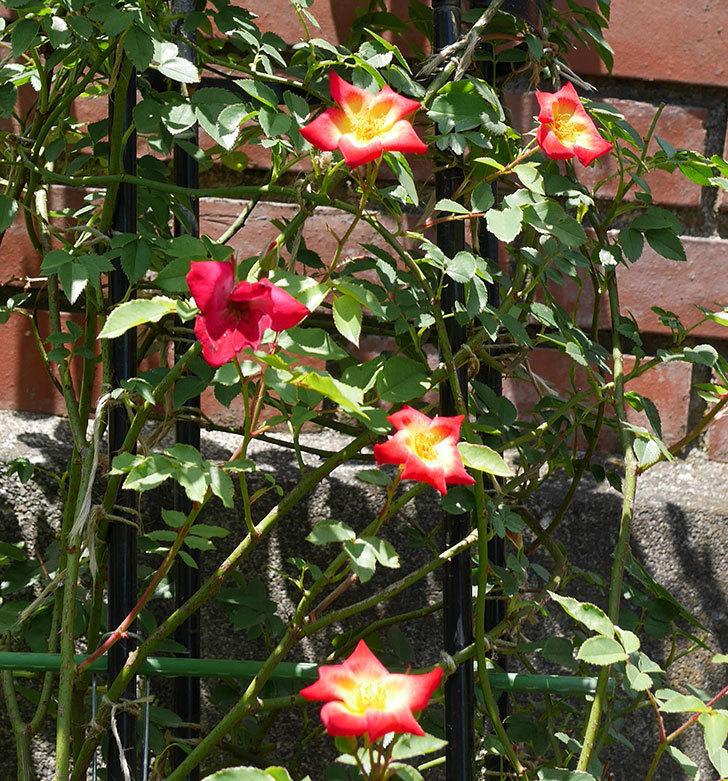 カクテル(ツルバラ)の2番花がたくさん咲いた。2018年-2.jpg