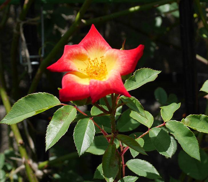 カクテル(ツルバラ)の2番花がたくさん咲いた。2018年-3.jpg
