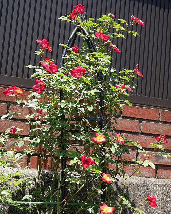 カクテル(ツルバラ)の2番花がたくさん咲いた。2018年-6.jpg