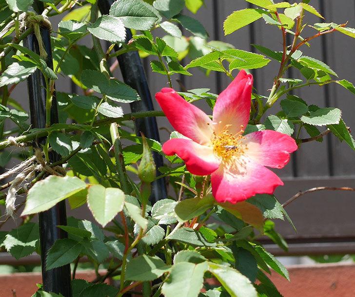 カクテル(ツルバラ)の2番花が咲いた。2018年-2.jpg
