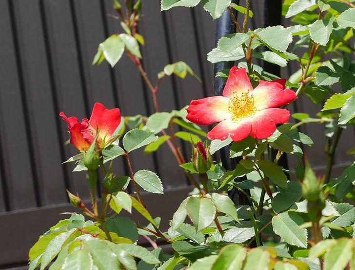 カクテル(ツルバラ)の2番花が咲いた。2018年-3.jpg