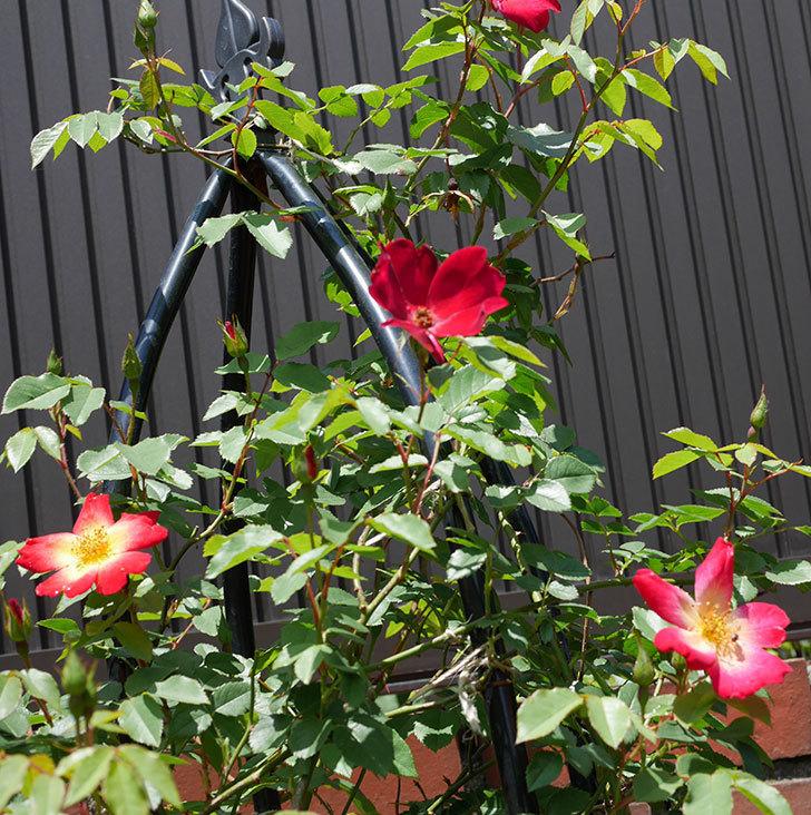 カクテル(ツルバラ)の2番花が咲いた。2018年-4.jpg