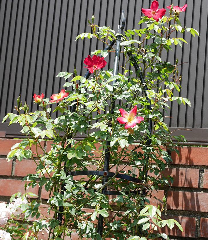 カクテル(ツルバラ)の2番花が咲いた。2018年-5.jpg