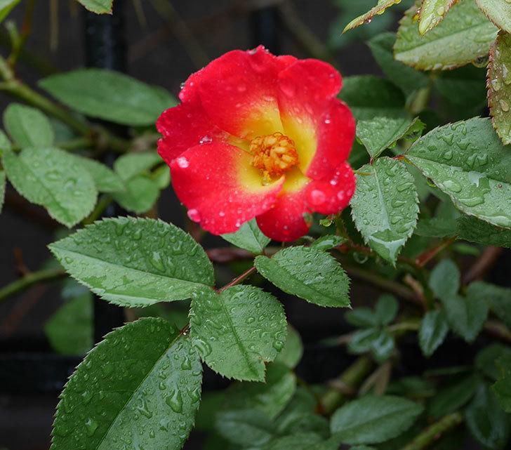 カクテル(ツルバラ)の2番花が咲いた。2019年-1.jpg