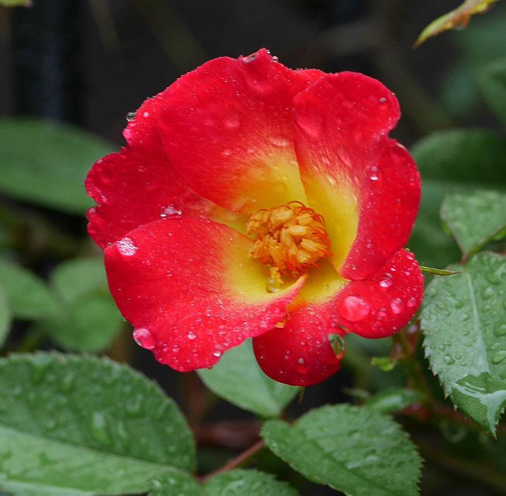 カクテル(ツルバラ)の2番花が咲いた。2019年-2.jpg