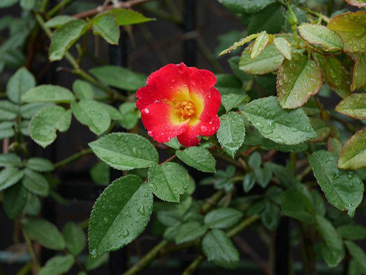カクテル(ツルバラ)の2番花が咲いた。2019年-3.jpg