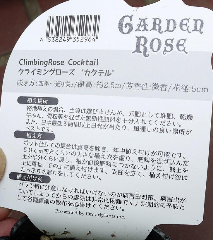 カクテル(ツルバラ)の新苗がケイヨーデイツーで398円だったので買って来た。2016年-5.jpg