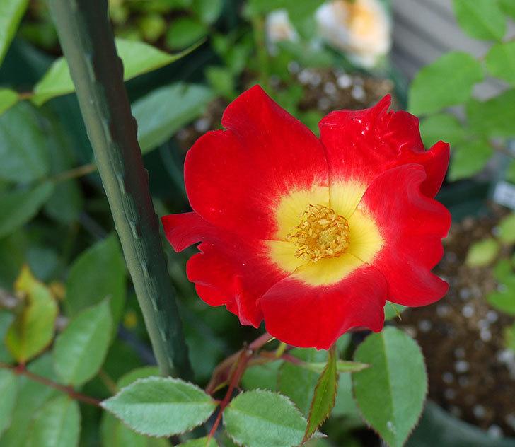 カクテル(ツルバラ)の新苗に花が咲いた。2016年-1.jpg