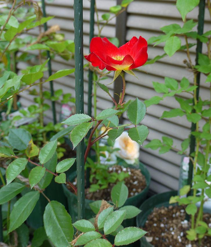 カクテル(ツルバラ)の新苗に花が咲いた。2016年-3.jpg