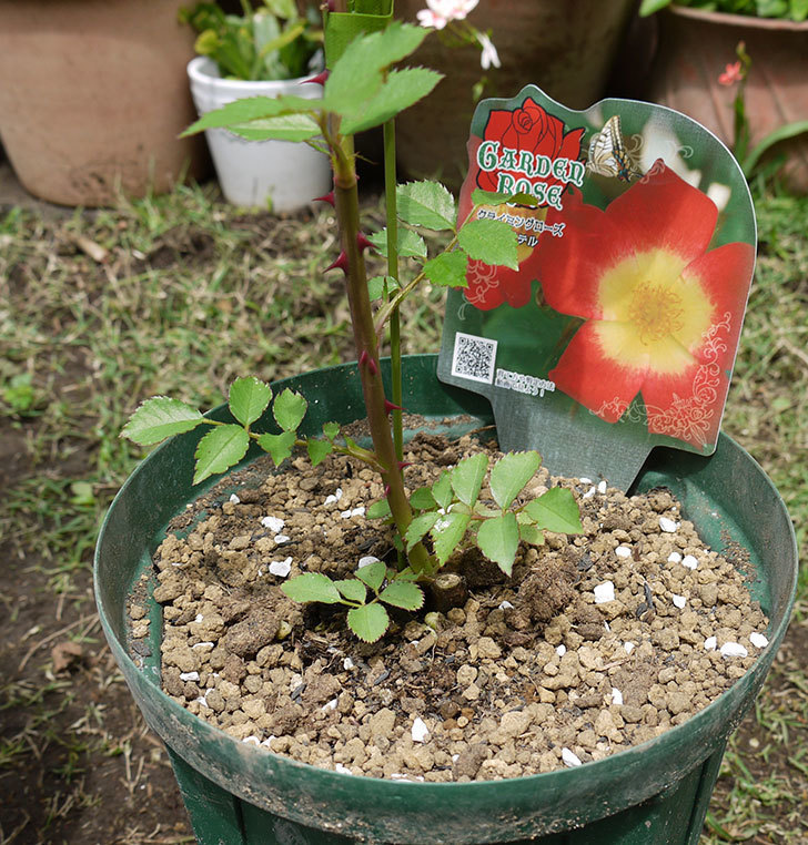 カクテル(ツルバラ)の新苗を6号ロングスリット鉢に植えた。2016年-1.jpg