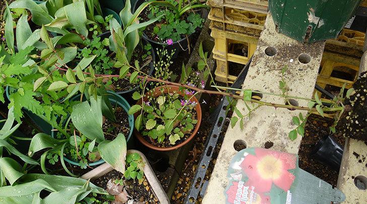 カクテル(ツルバラ)の新苗を6号ロングスリット鉢に植えた。2016年-2.jpg