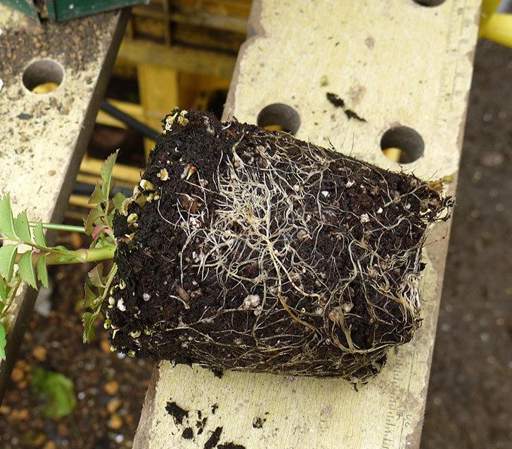カクテル(ツルバラ)の新苗を6号ロングスリット鉢に植えた。2016年-3.jpg