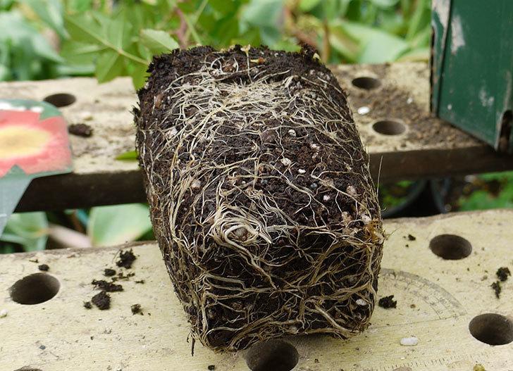 カクテル(ツルバラ)の新苗を6号ロングスリット鉢に植えた。2016年-4.jpg