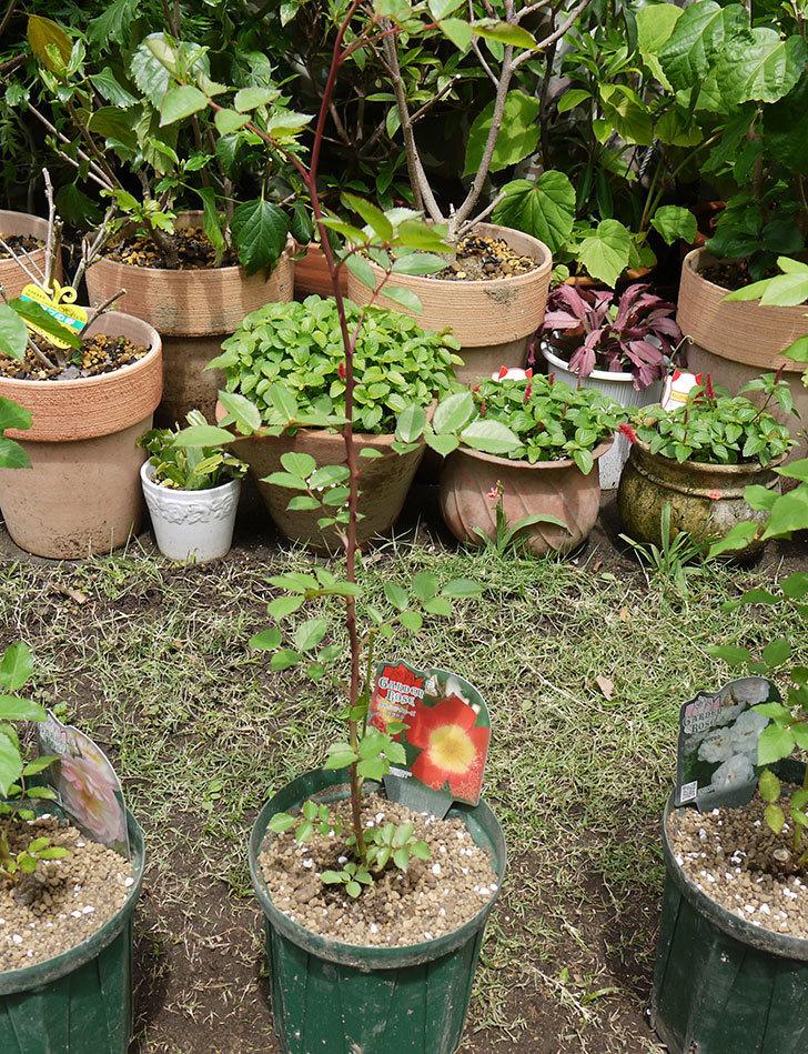 カクテル(ツルバラ)の新苗を6号ロングスリット鉢に植えた。2016年-5.jpg