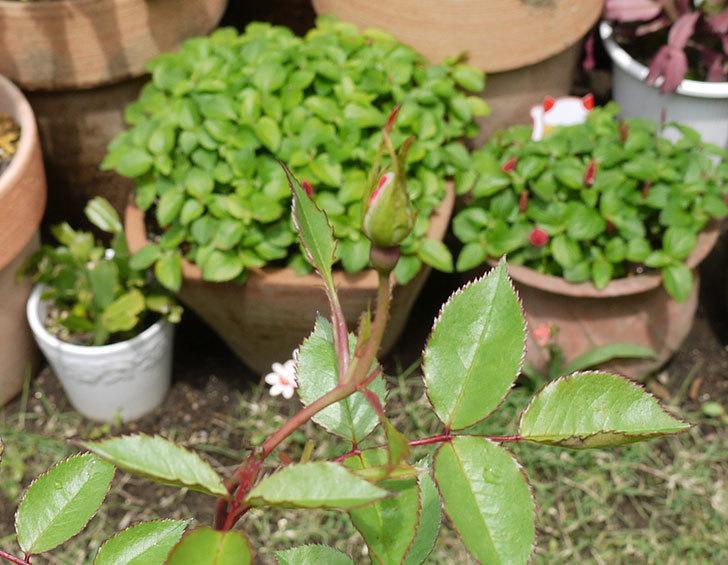 カクテル(ツルバラ)の新苗を6号ロングスリット鉢に植えた。2016年-6.jpg