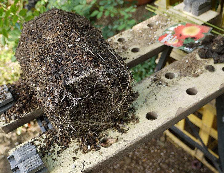 カクテル(ツルバラ)の新苗を8号のEUロングスリット鉢に鉢増しした。2016年-1.jpg