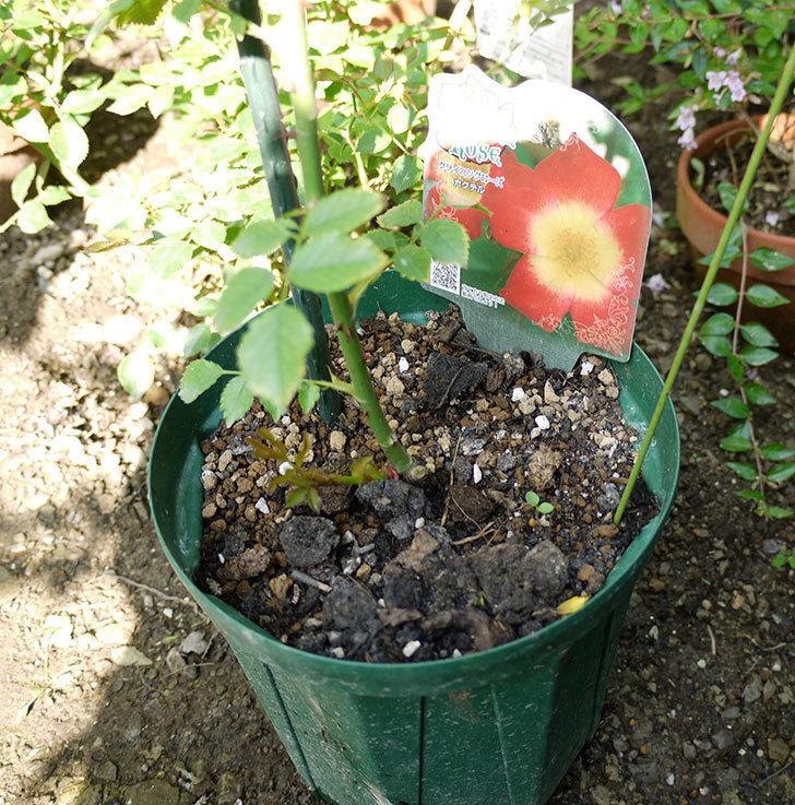 カクテル(ツルバラ)の新苗を8号のEUロングスリット鉢に鉢増しした。2016年-2.jpg