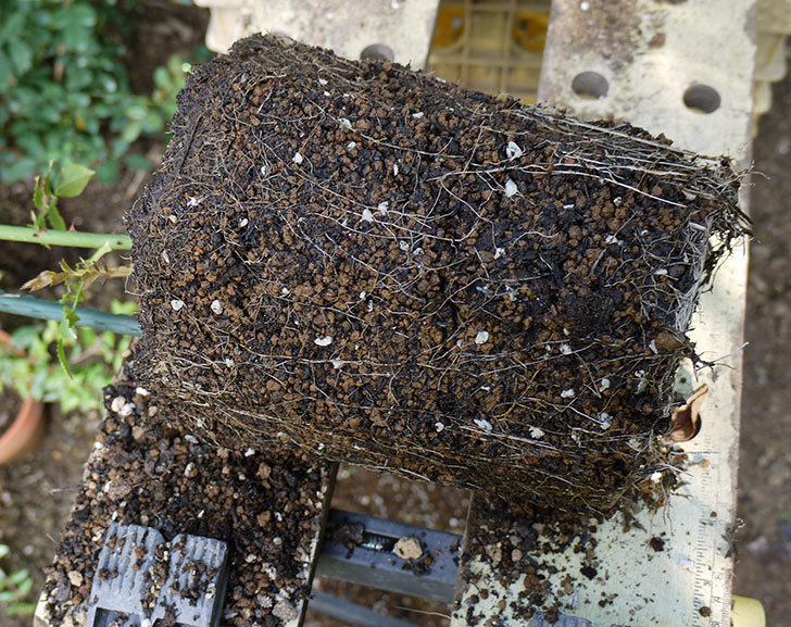 カクテル(ツルバラ)の新苗を8号のEUロングスリット鉢に鉢増しした。2016年-4.jpg
