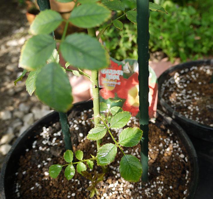 カクテル(ツルバラ)の新苗を8号のEUロングスリット鉢に鉢増しした。2016年-6.jpg
