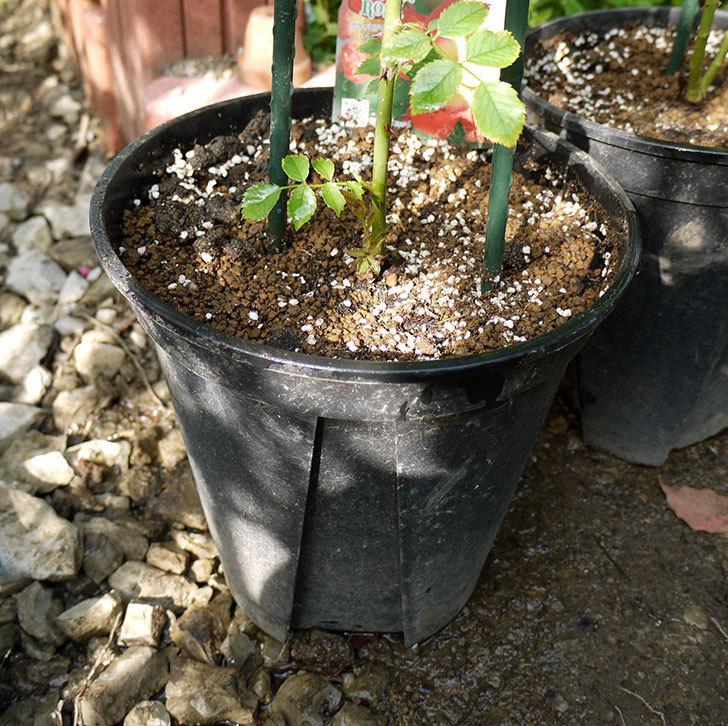 カクテル(ツルバラ)の新苗を8号のEUロングスリット鉢に鉢増しした。2016年-7.jpg