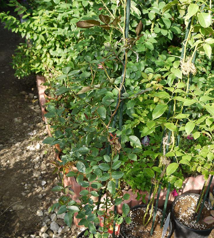 カクテル(ツルバラ)の新苗を8号のEUロングスリット鉢に鉢増しした。2016年-8.jpg