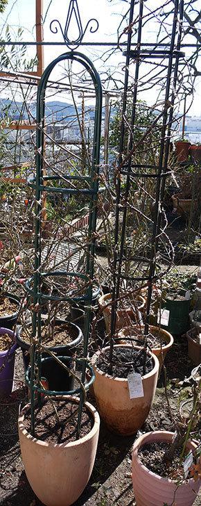 カクテル(ツルバラ)の植え替えしてオベリスクに誘引した。2017年-15.jpg