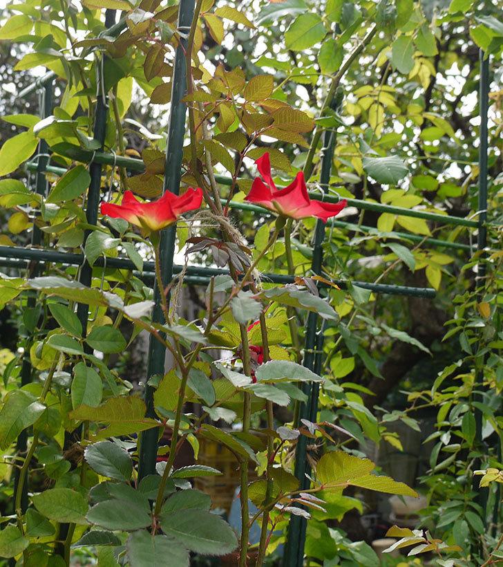 カクテル(ツルバラ)の秋花が2個咲いた。2016年-2.jpg