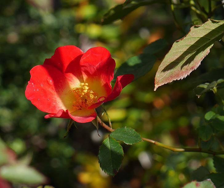 カクテル(ツルバラ)の秋花が咲いた。2017年-1.jpg