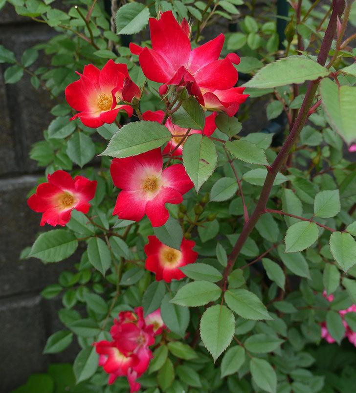 カクテル(ツルバラ)の花がまた増えてきた。2017年-1.jpg