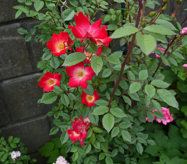 カクテル(ツルバラ)の花がまた増えてきた。2017年-3.jpg