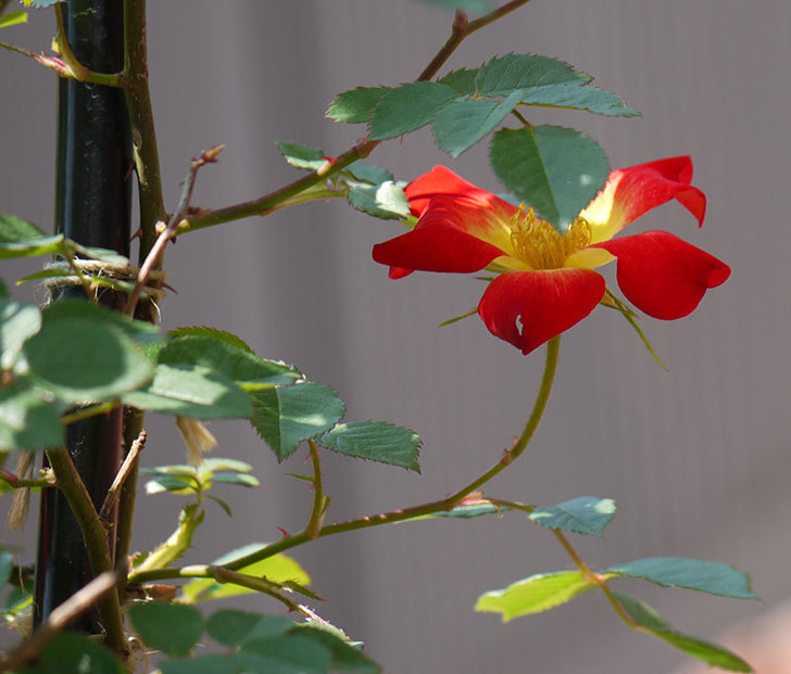 カクテル(ツルバラ)の花が咲きだした。2018年-1.jpg